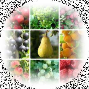 Саджанці плодових культур